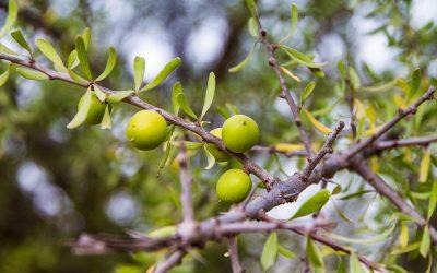 Huile d argan cheveux : Comment appliquer l'huile d'argan pour le traitement des cheveux